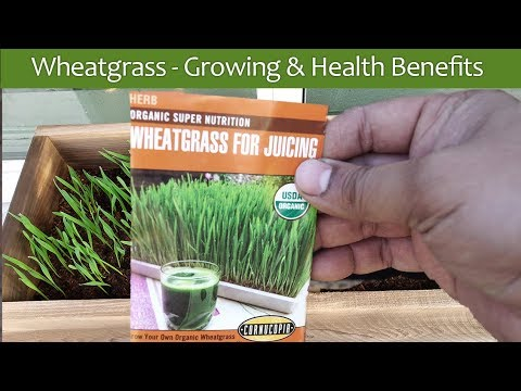 Wheatgrass Health Benefits & Wheat Grass Growing Guide - Microgreens