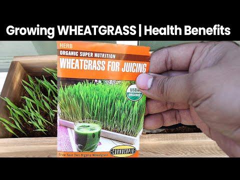 Wheatgrass Health Benefits & Wheat Grass Growing Guide - Microgreens