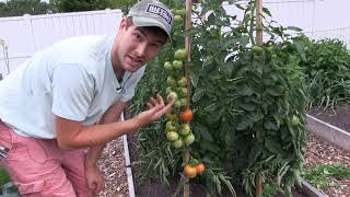 Complete Heirloom Tomato Tour & Harvest! + A First Look At A NEW Tomato Variety