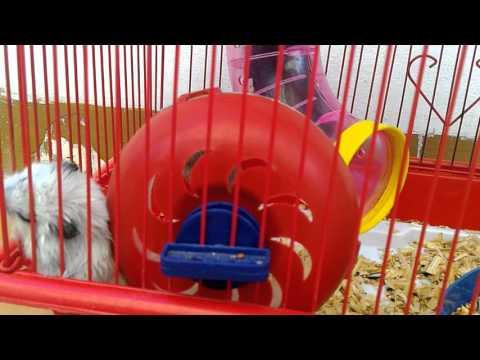 Video Cara beternak hamster di rumah yang lucu dan benar