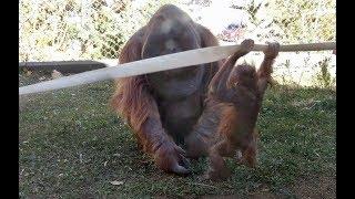 Orangutan toddler hitting her dad