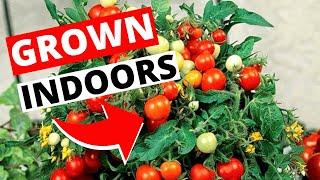 How To Grow Tomatoes Indoors | Indoor Gardening For Beginners
