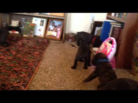 leatherneckcancorso puppies