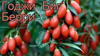 Годжи лечебная Биг Берри (lycium barbarum) 🌿 Биг Берри обзор: как сажать, саженцы годжи Биг Берри