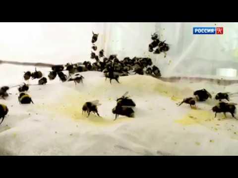Шмели лучше чем пчелы