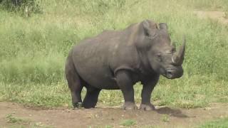 Rhino Bull  Marking His Territory.