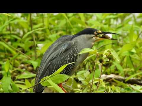 Socozinho comendo peixe na cachoeira da Nascente Azul em Bonito/MS.