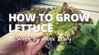 How to grow lettuce leaves in just 7 weeks - A week by week diary