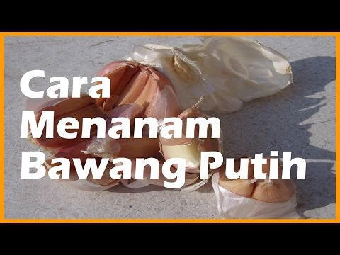 Video Cara Menanam Bawang Putih di Pot Polybag - AiGarden