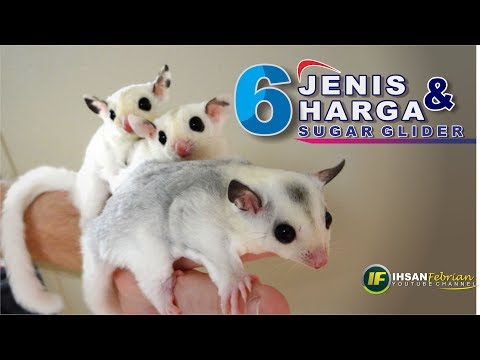 Jenis dan Harga Sugar Glider || Type and Price of Sugar Glider