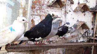 Голуби в Рабочем поселке Петропавловска