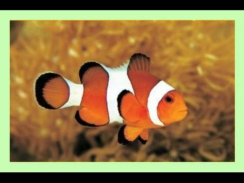 comment installer clownfish