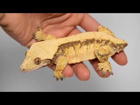 Handling Your Crested Gecko (New Owners Watch This) Mp3
