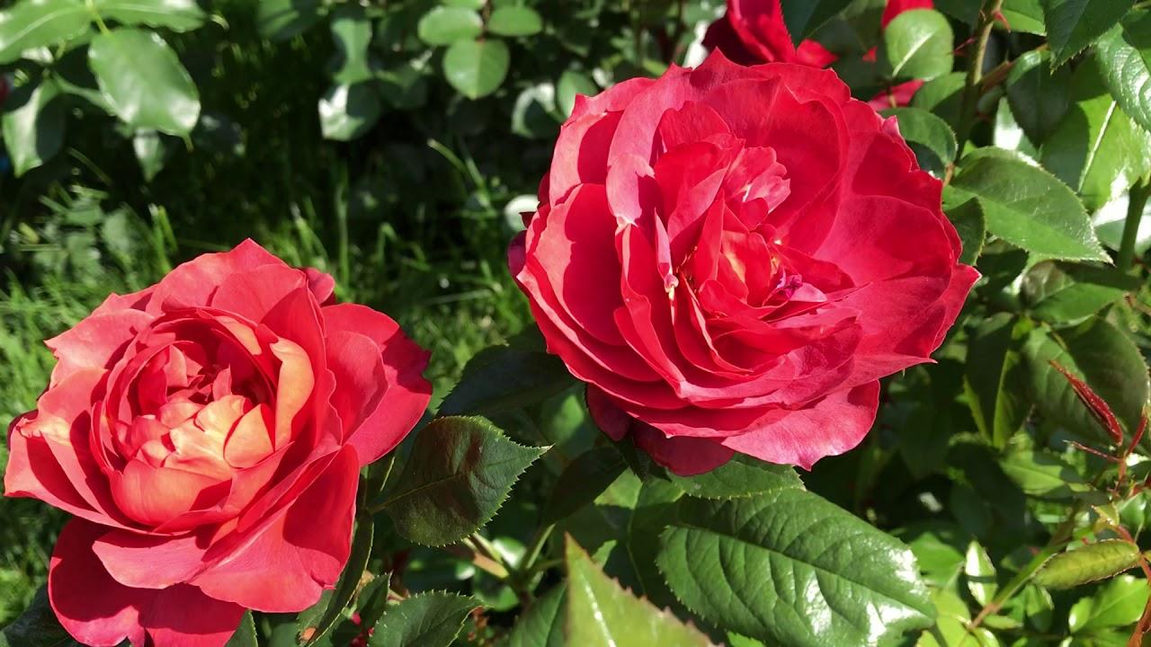 Роза Хот Чоколэт/ Хот Кокоа Tom Carruth 2002г
