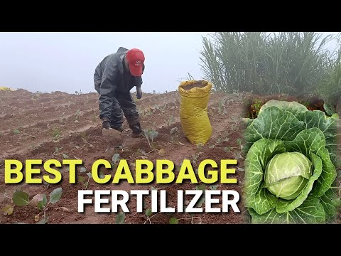 , title : 'Best Cabbage Fertilizer | Growing Cabbage in the Philippines