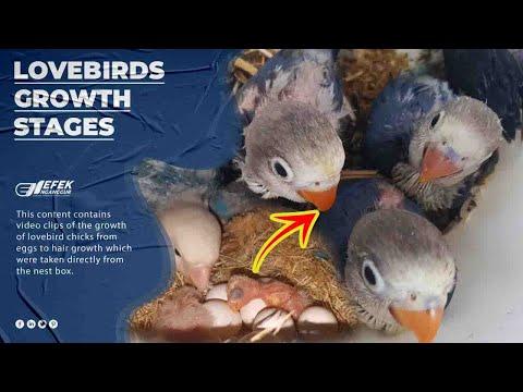 mp4 Lovebird Anakan, download Lovebird Anakan video klip Lovebird Anakan