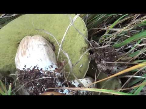 Il fungo di unguento di Vishnevsky di gambe