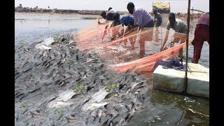 Lot Of Prawns Live Catching Traditional Fishing