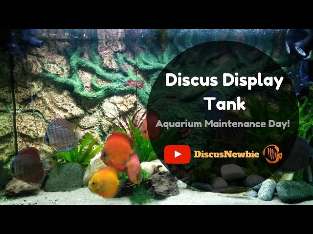 Discus display tank: Water change & Maintenance