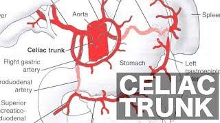 Celiac Trunk Anatomy
