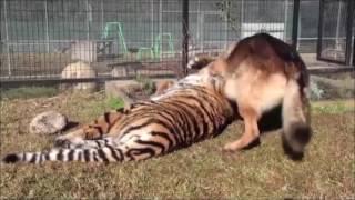 Собака и Тигр  - лучшие друзья!