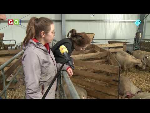 """""""Dit is Mien hobby"""" Schaapskudde Oldambt.  (VIDEO) - RTV GO! Omroep Gemeente Oldambt"""