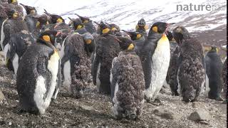 King penguin moulting