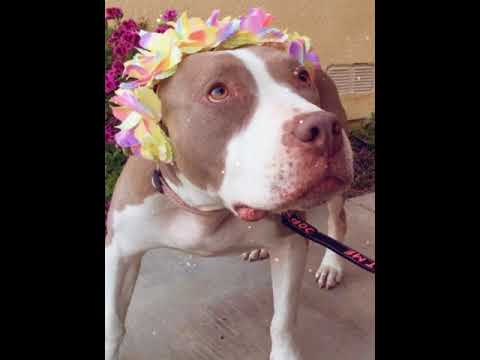 CLOVE, an adopted American Staffordshire Terrier Mix in Thousand Oaks, CA