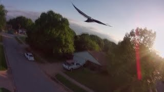 Bird attacks my drone FPV