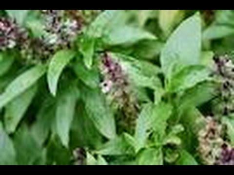 Video LUAR BIASA!! Manfaat Biji Bunga Kemangi Selasih Untuk Obat Herbal