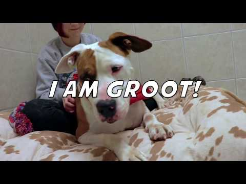 Groot: ADOPTED!!!!, an adopted American Bulldog & Pointer Mix in Kansas City, KS