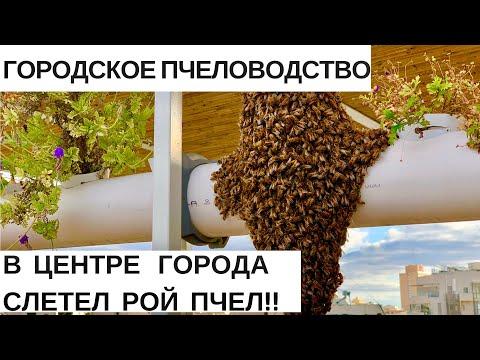 РОЙ ПЧЁЛ В ЦЕНТРЕ ГОРОДА//ГОРОДСКОЕ ПЧЕЛОВОДСТВО