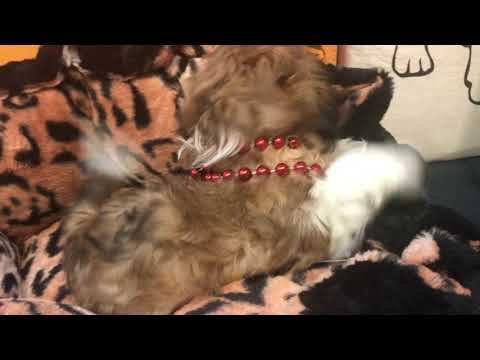 Pilo Cute Shihtzu for sale Bayside Flushing Queens NY