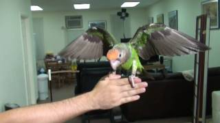 Slow Motion Parrot Flights - Kili and Truman