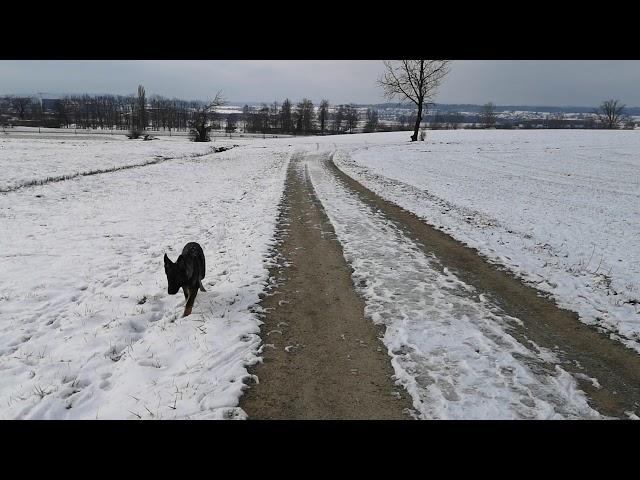 Junghund Farou