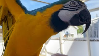 Rachel Macaw Showers and Goes Outside