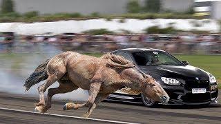 أسرع حصان ضد أسرع سيارة - من الأسرع ؟!