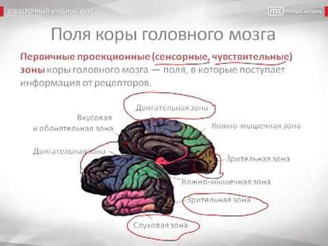 Психология урок 10 Мозг как физиологическая основа психики