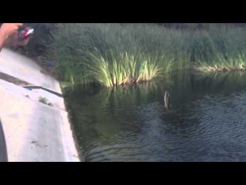 Big Bass Fishing Ponds with Senkos