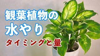 観葉植物の正しい水やり!頻度や水の量はどれくらい?
