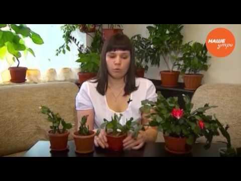 Анна Усова как разводят цветок декабрист
