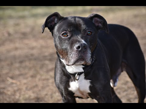 Shiloh, an adoptable Staffordshire Bull Terrier & Boxer Mix in Cranford, NJ