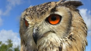 The most beautiful eyes: how to film Bengal Eagle Owl flying in slow motion. Dublin Falconry.
