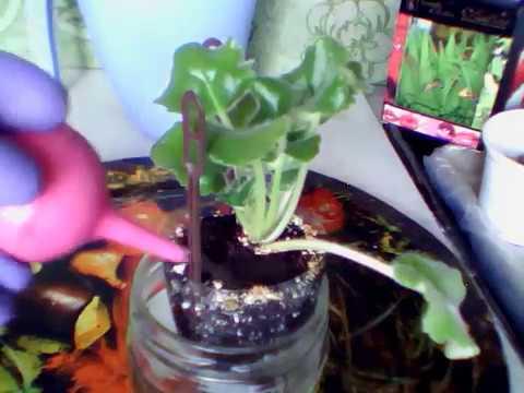 02.04.2019 Фиалка Золотая Пена . Комнатные цветы. Комнатные растения.