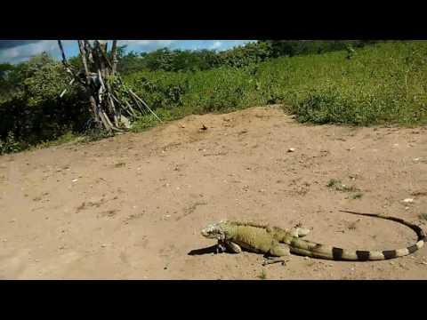 Camaleão capturado em salgado de apuiarés Ceará