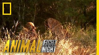 A Leopard Duel Means a Bloody Battle   Animal Fight Night