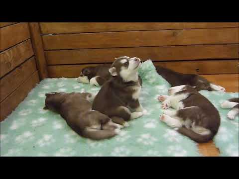 Baby Husky Tries To Howl, Sounds Like A Star Wars Character