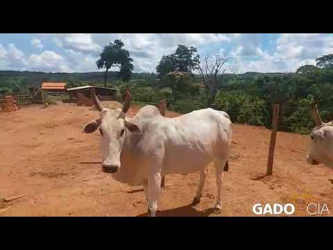 Lote0561 - 40 Novilhas e Vacas Gordas Nelore em Bela Vista de Goiás - GO