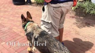 8-Month Old German Shepherd, Starke! German Shepherd Dog Trainers Virginia