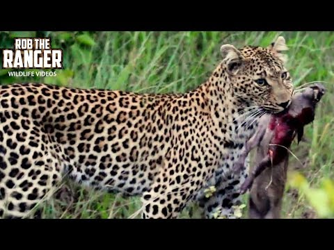 Leopard Catches Baby Warthog | African Safari Action